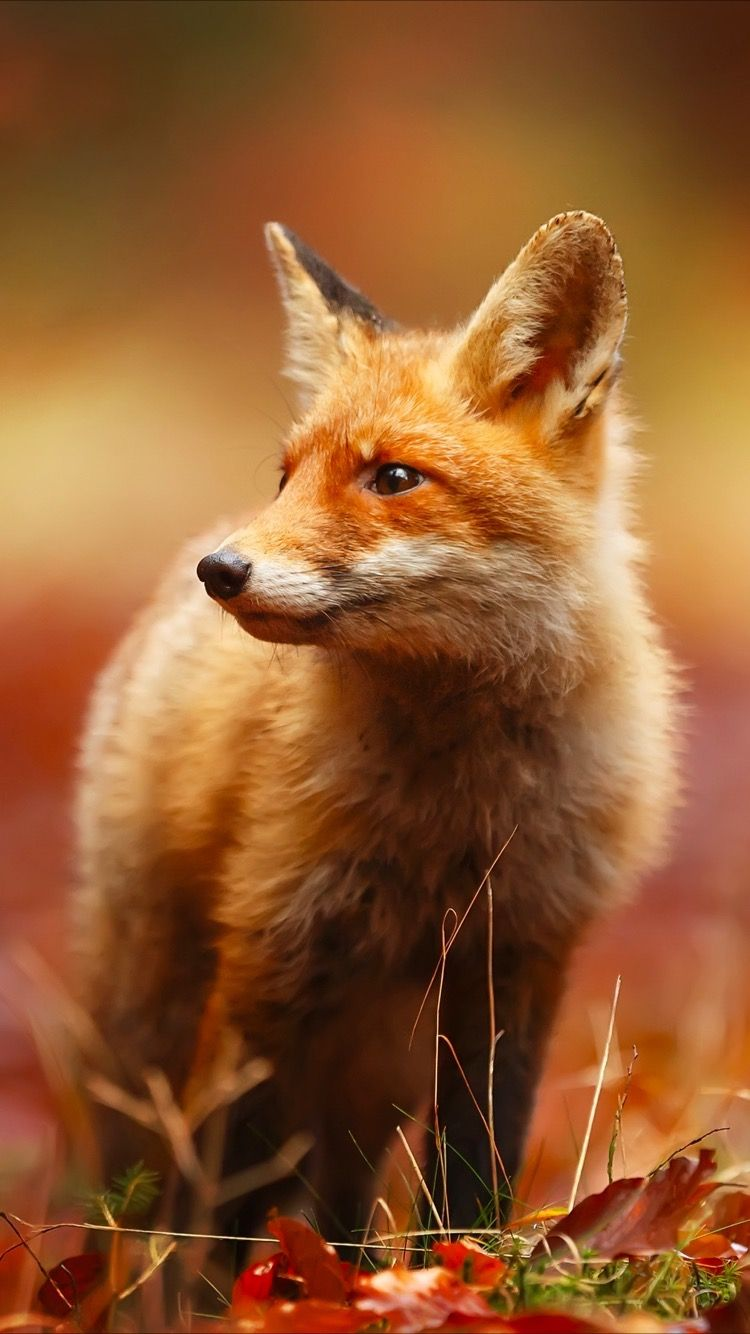 Get this cute red fox 🦊 wallpaper for your iPhone 7 screen
