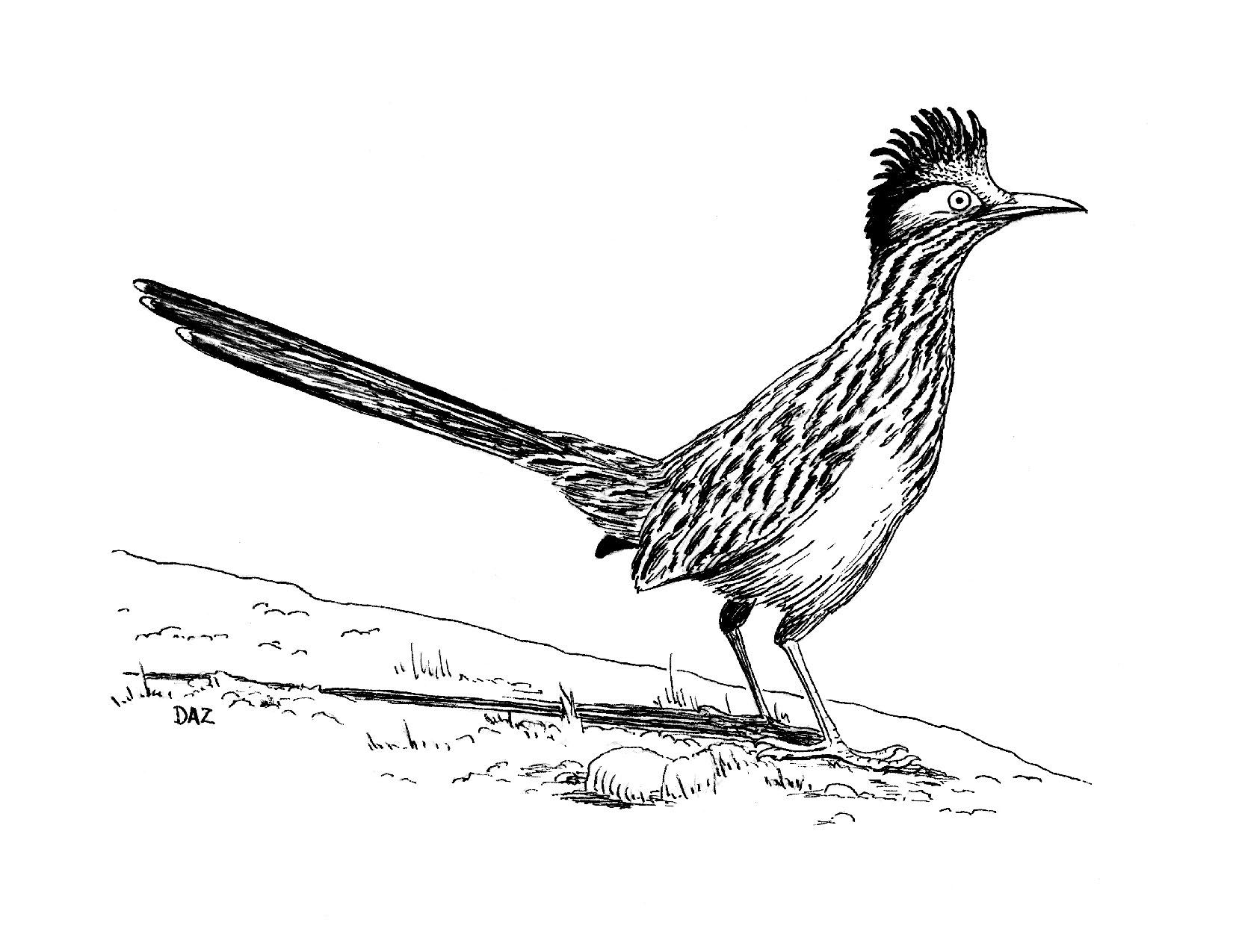 Roadrunner Bird Coloring Pages Bird Drawings Drawings