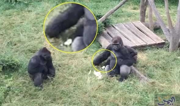 قرد صغير يتسلل خلسة من وراء ظهر غوريلا ضخمة ليسرق طعامها Silverback Gorilla Silverback Gorilla