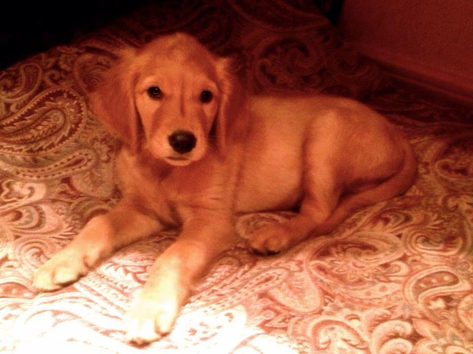Baby Golden Retriever Dogs Pup Puppies