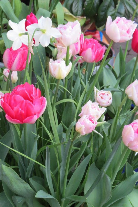 "Pink ""Double"" tulips ... ( bulbs also a lovely pressie )"