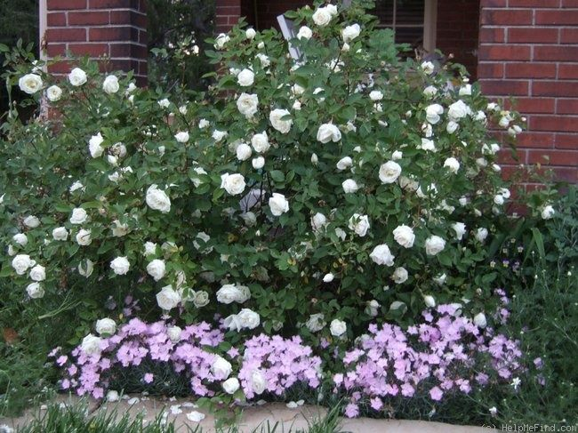 Simple Rose Garden: 'Ducher' China Rose, Easy And Everblooming In My Garden