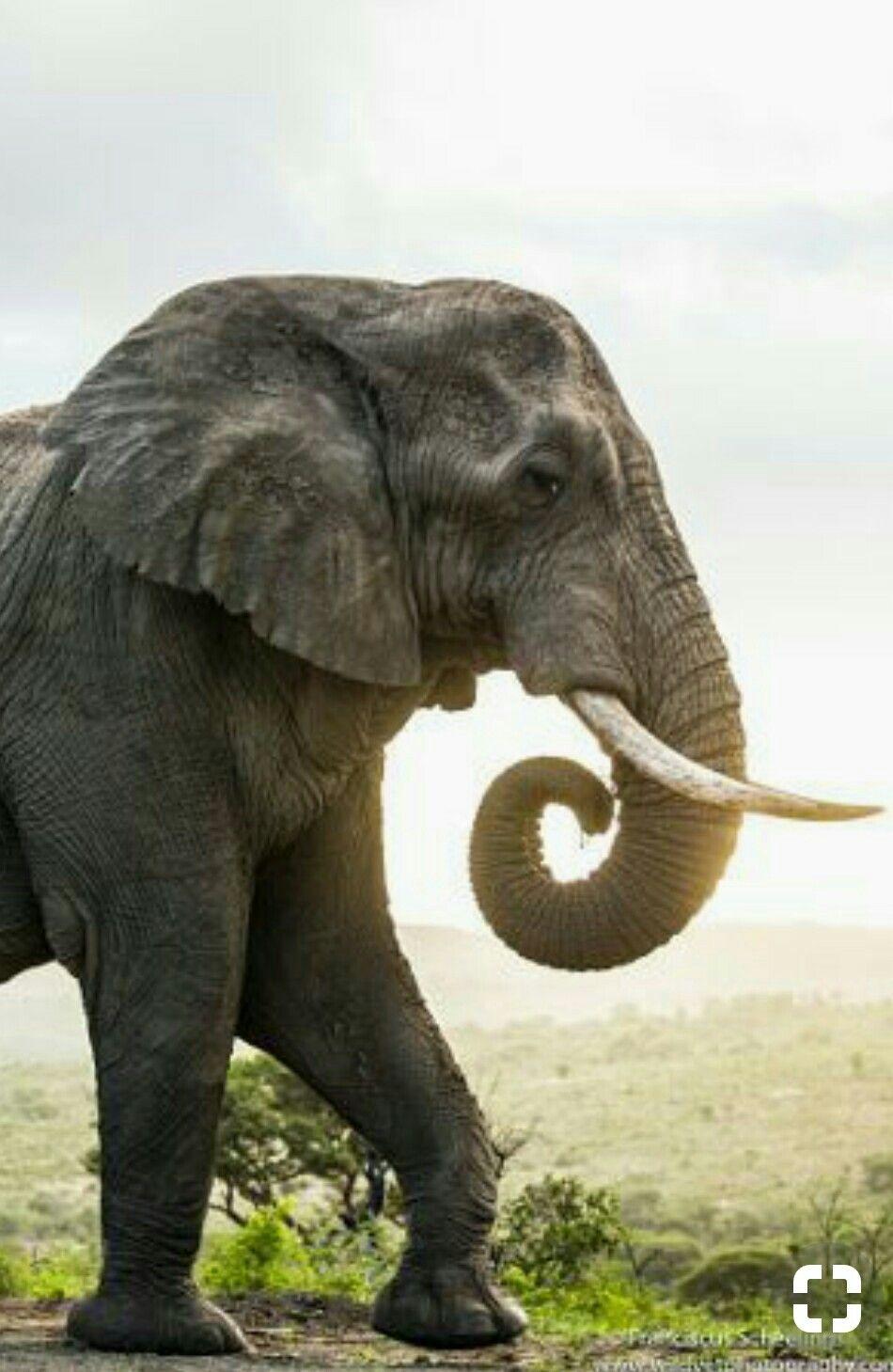 Perfil Elefante Fotos De Elefantes Dibujo De Jirafa Pinturas De Elefantes