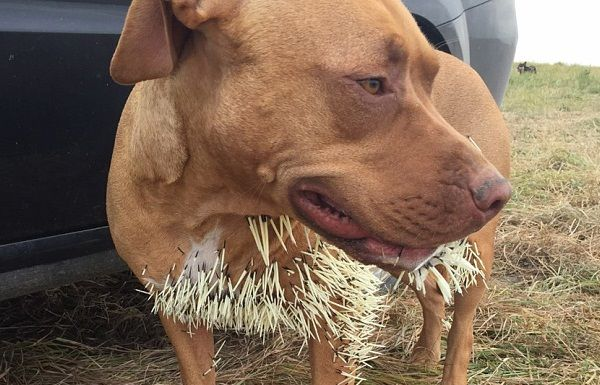 Three Dogs In Canada Cluck By Porcupine Attack Dogs Porcupine