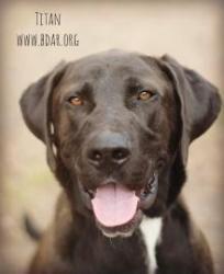 Adopt Titan On Labrador Retriever Animals Labrador Retriever Mix