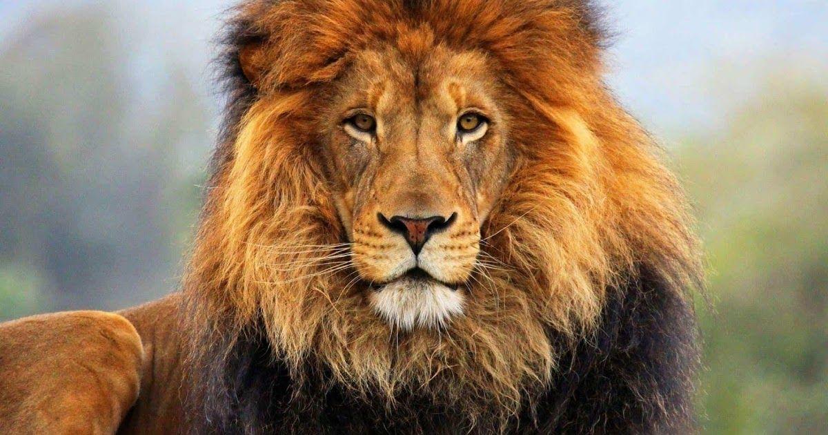 تفسير الأحلام أسد رؤية الأسد في الحلم يشير إلي سلطان ظالم وقاهر ودليل علي اللص والخائنرؤية دخول الأسد إلي المدينة دليل علي أن ال Animals African Lion Male Lion