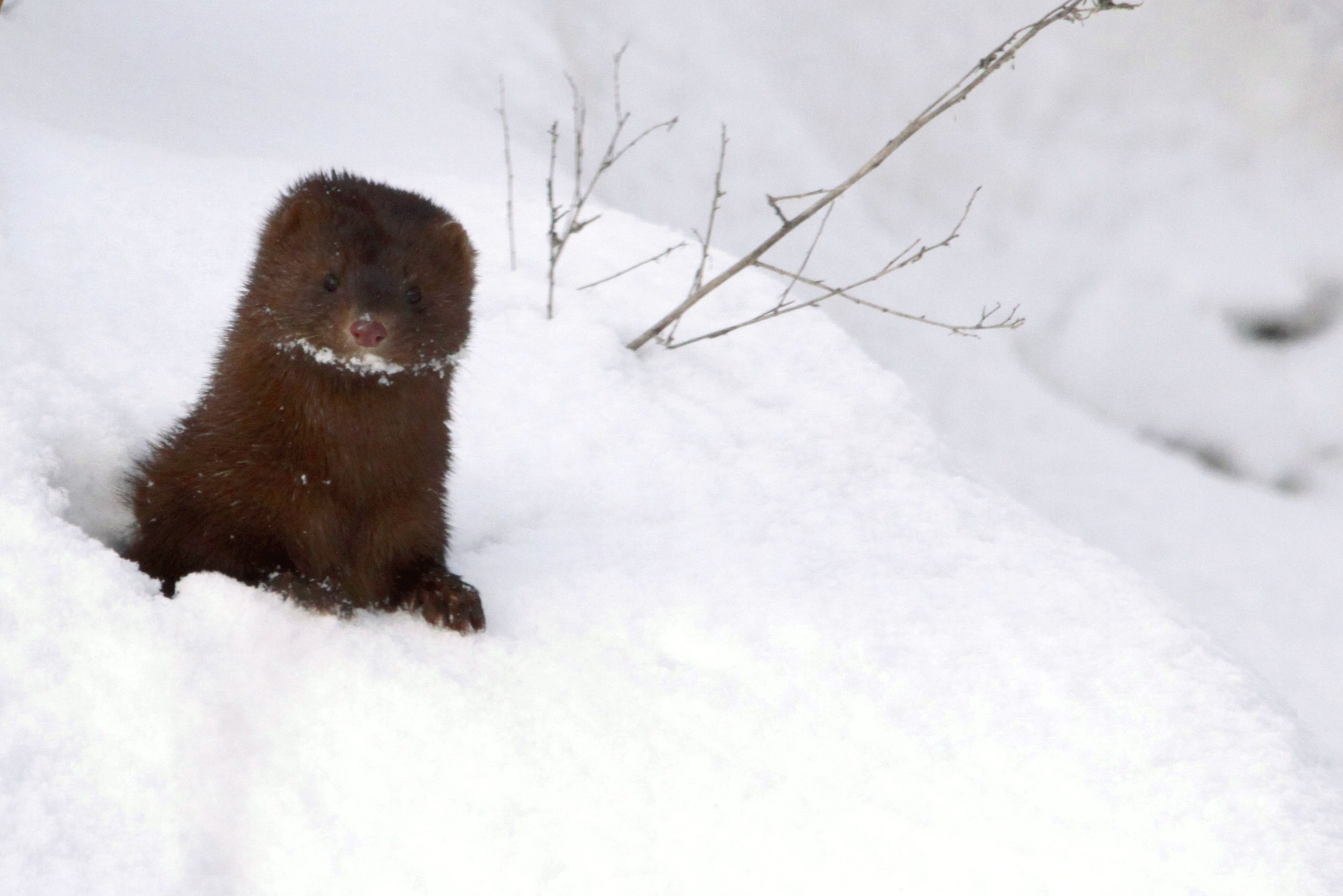 Mink in the snow, Photo by Robert Mueller  To read the ON Nature Winter edition and see exclusive online content, visit: www.onnaturemagazine.com