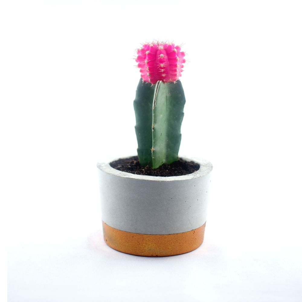 cupper concrete pot with Gymnocalycium