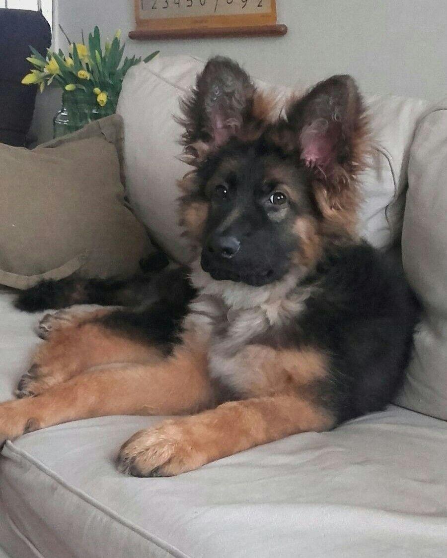 Look at those ears absolutely gorgeous germanshepherd german