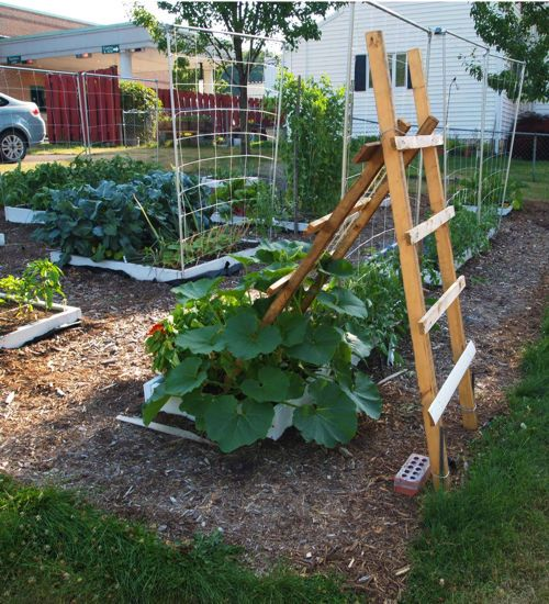 Growing Zucchini On A Trellis: Training Squash On A Ladder Trellis