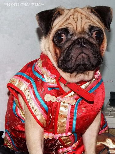 *SMILING PUG* - 恭喜发财! Gong Xi Fa Cai! , HAPPY CHINESE NEW YEAR, LUCKY PUG FOR LUCKY YEAR //MEL C  *-* by *SMILING PUG*, via Flickr