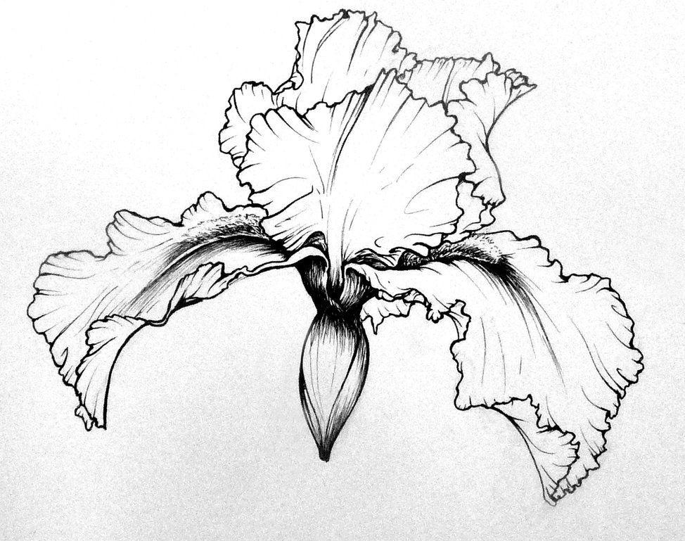 Flower Studies Iris By Sheepnumber97245 On Deviantart Iris Drawing Flower Line Drawings Flower Sketches