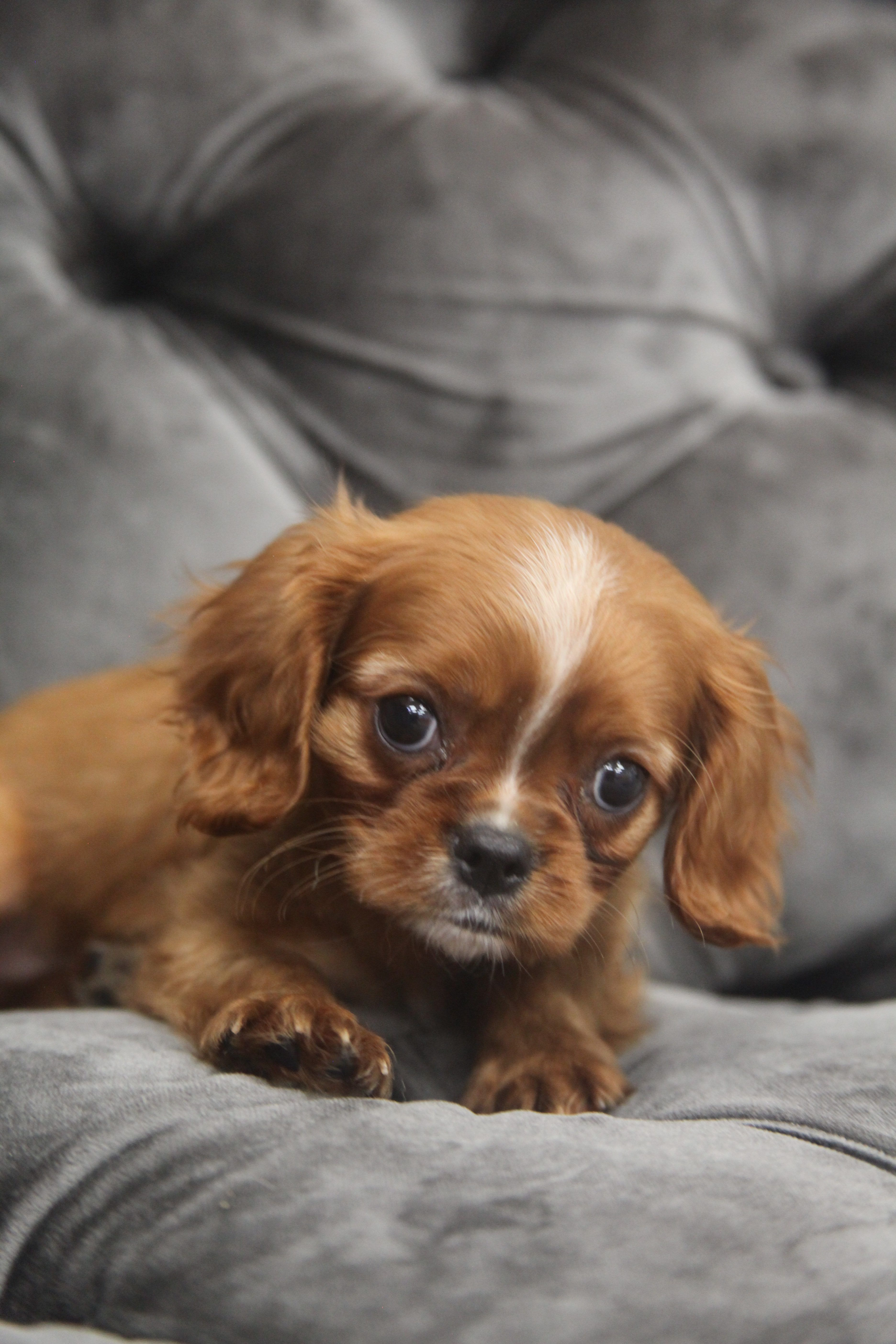 Cavalier King Charles Forever Love Puppies Cavalier King