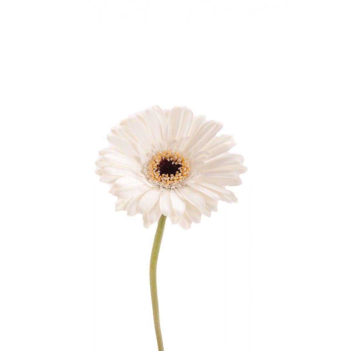 White germini dark center a pinterest dark gerbera white germini dark center gerberas types of flowers mightylinksfo Choice Image