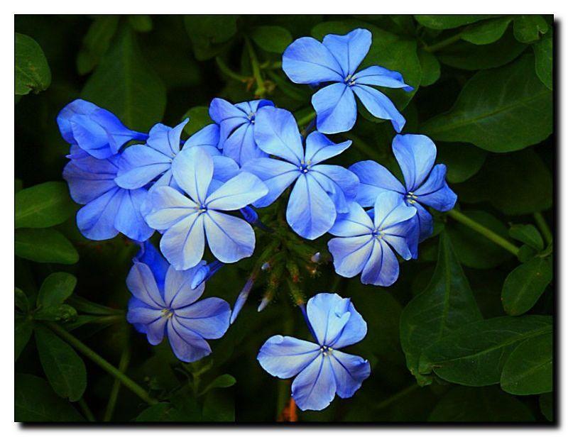 Blue Jasmine: My Namesake | Jasmine flower tattoos ...