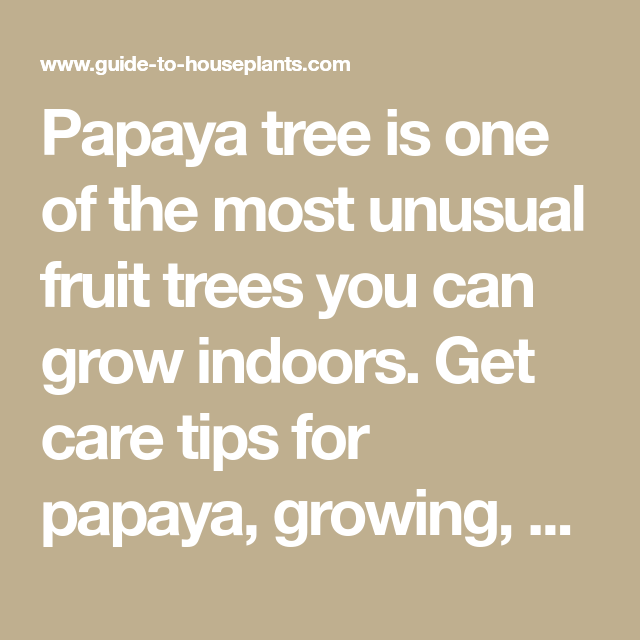 Papaya Tree Is One Of The Most Unusual Fruit Trees You Can 400 x 300