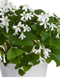 Indoor shamrock plant oxalis regnellii leaves fold in at night the plant blooms year round - Shamrock indoor plant ...
