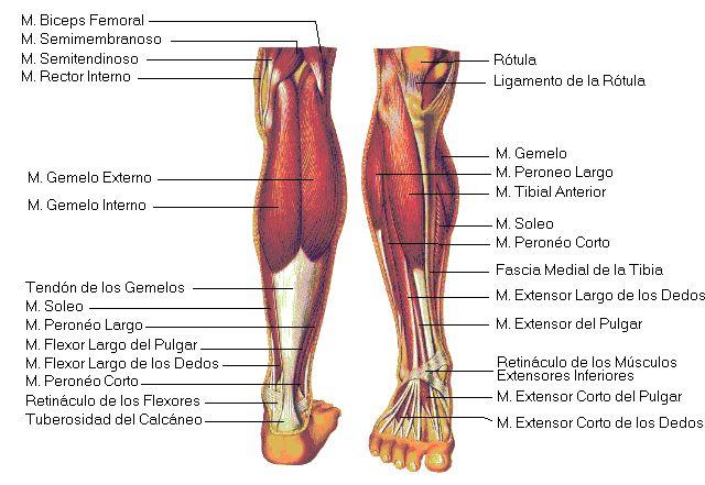 Músculos de la pierna. | anatomía humana | Pinterest | Musculos de ...