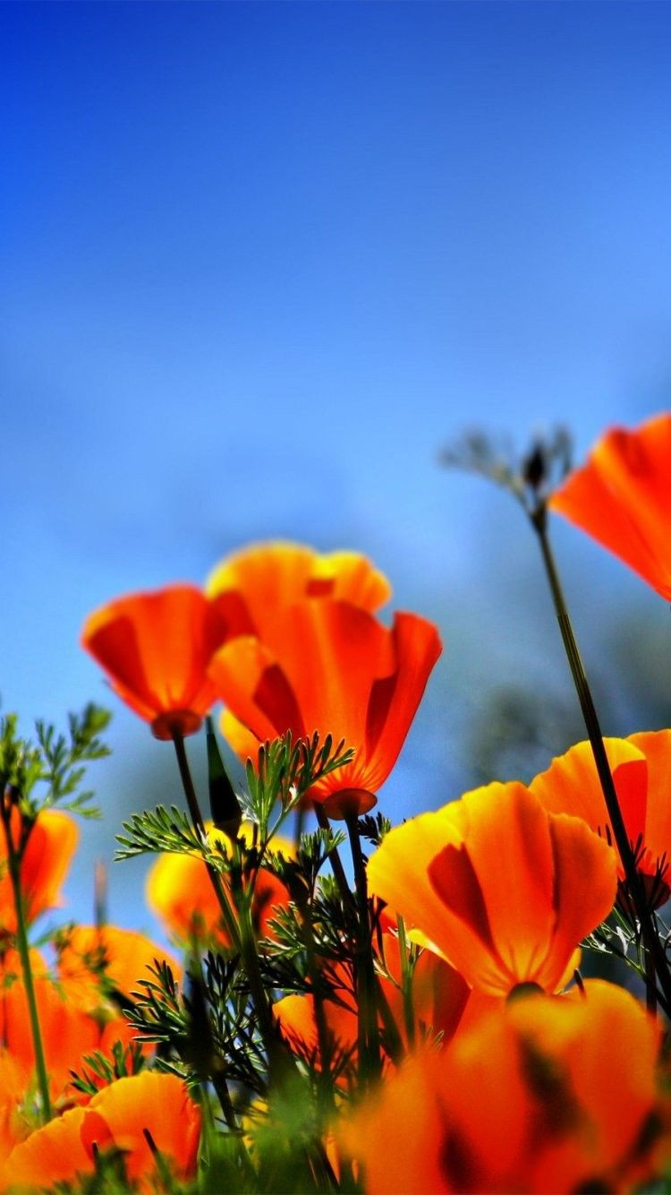 Poppy field iphone 6 wallpaper 32140 flowers iphone 6 - Iphone 6 flower wallpaper ...