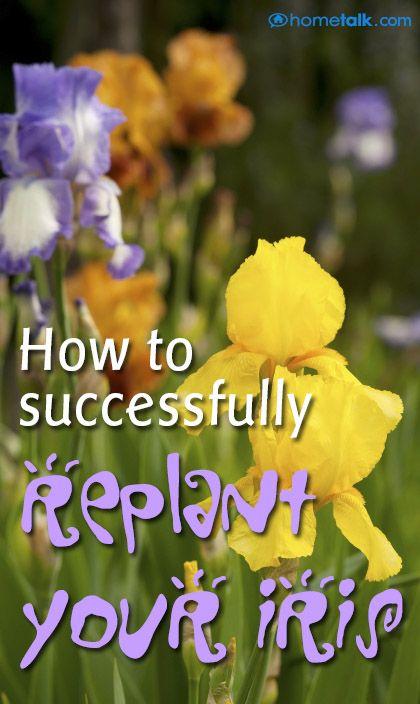 Replanting My Iris After Dividing Iris Flowers Iris Garden Replant