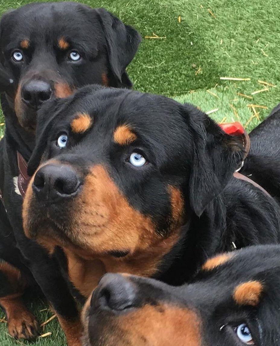 Rottweiler Lovers On Instagram Rottweiler