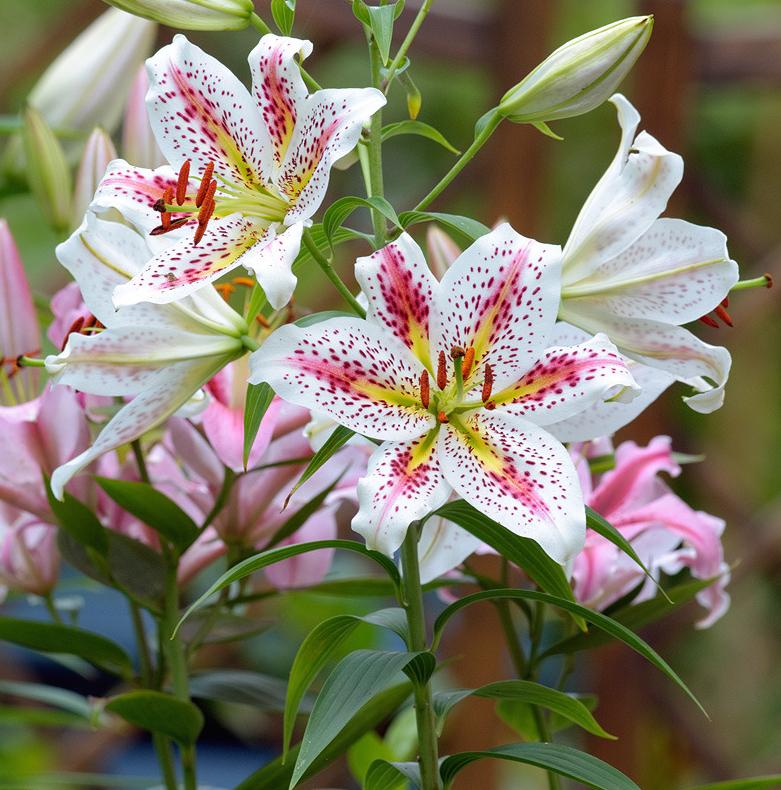 Die besten 25 oriental lily ideen auf pinterest lilien lilie und lilien blumen - Asiatische zimmerpflanzen ...