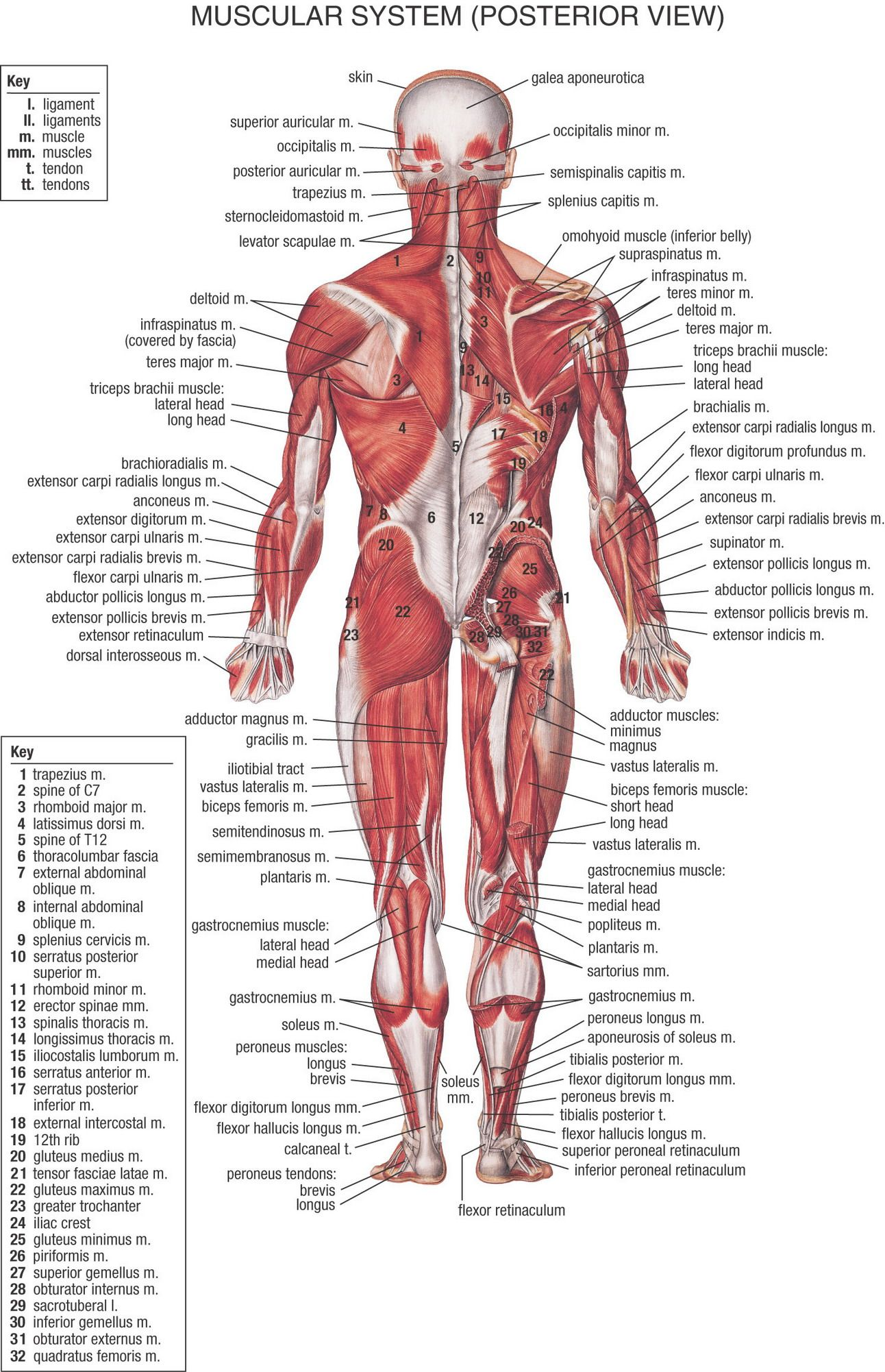muscular system (posterior view) | Anatomy & Physiology | Pinterest