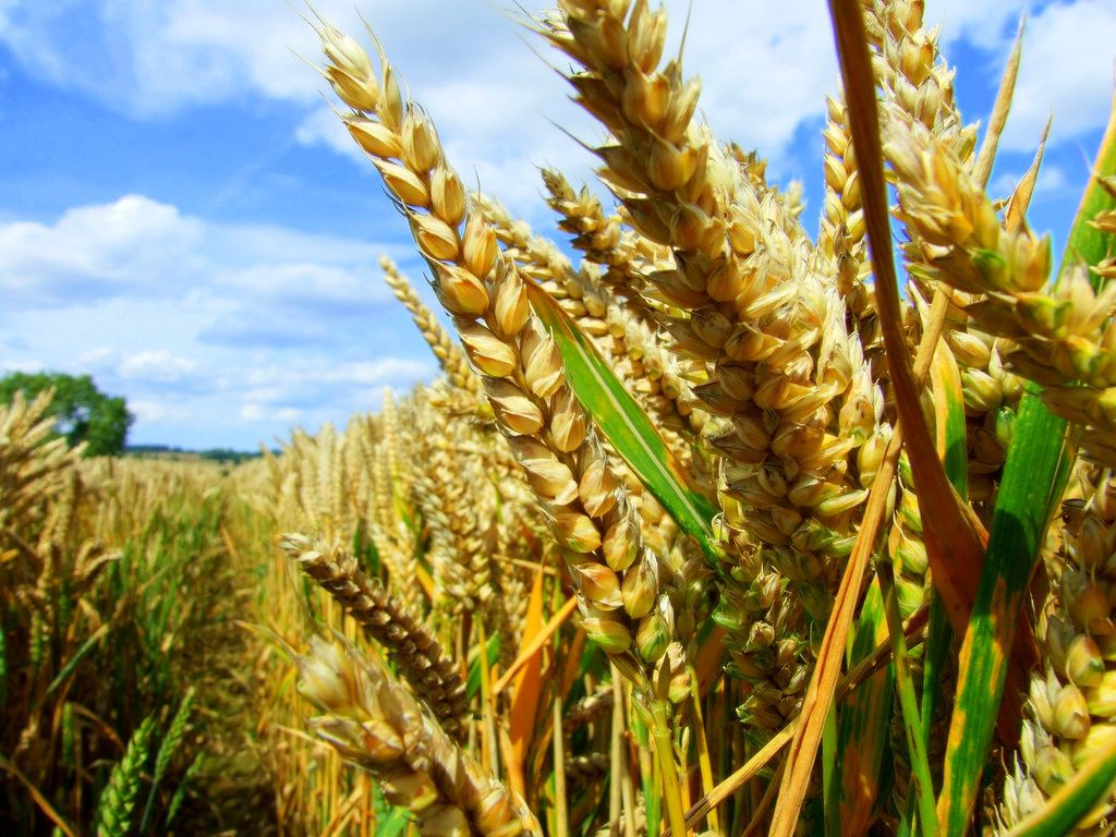 GM Foods contain genes from different organisms to create a