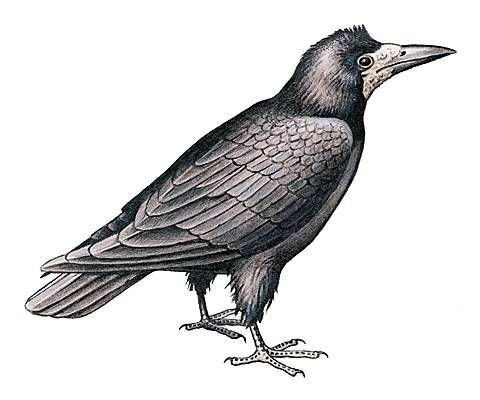 Freux - corbeau