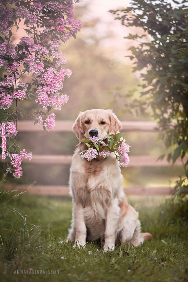 Pin By Stardust Mocha On 3 Dogs Golden Retriever Dog