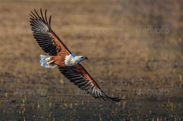 Fish Eagle flyby by Riaanvdb. African fish eagle flying showing it¡¯s perfect wing structure #AD #Riaanvdb, #African, #fish, #Fish