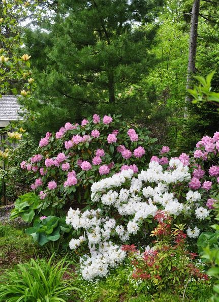 3304985a53647709fa29a751d5fe1756 - Best Gardens For Azaleas And Rhododendrons