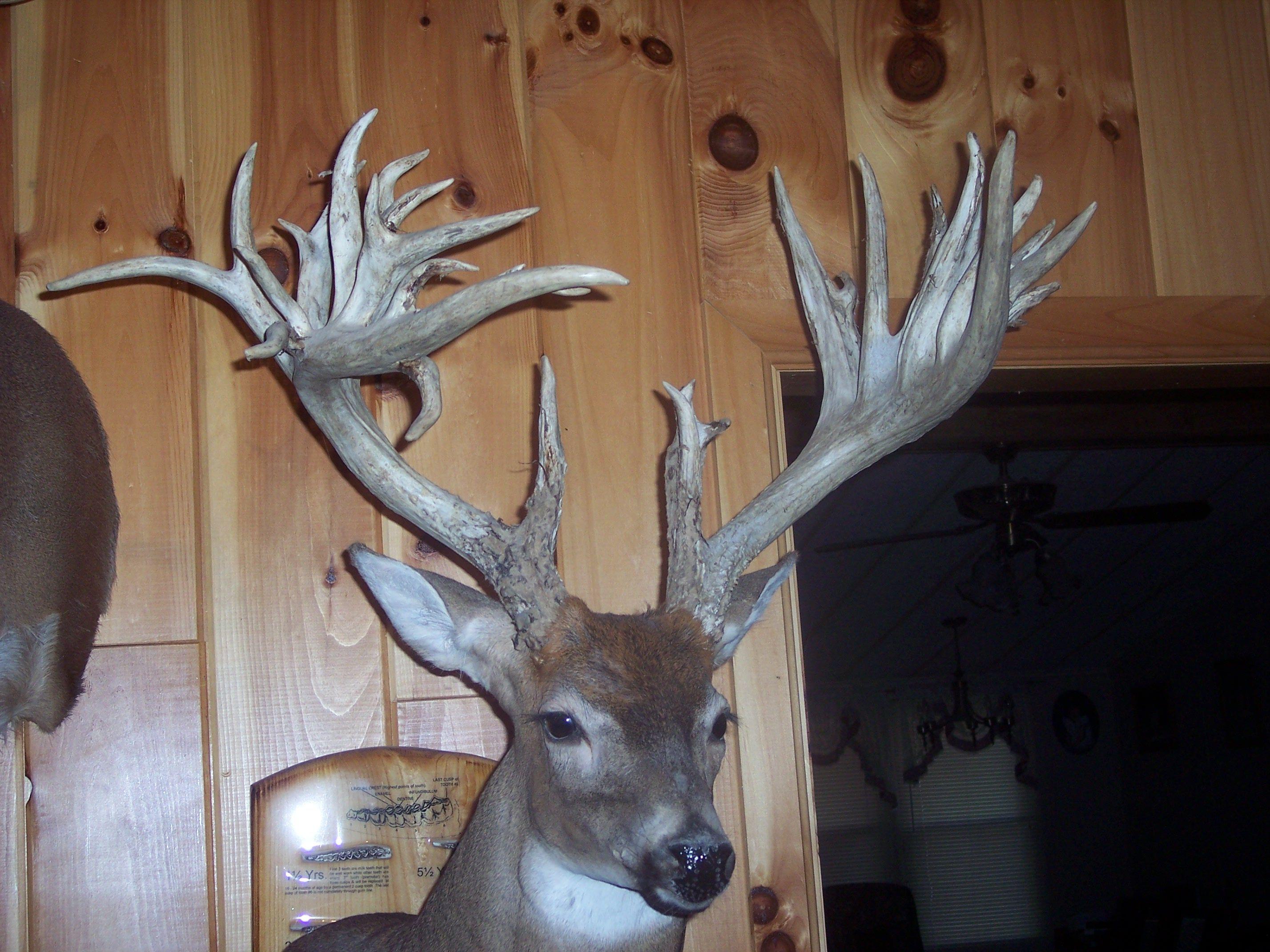 BUCKCOUNTRY Deer mounts, Deer, Taxidermy