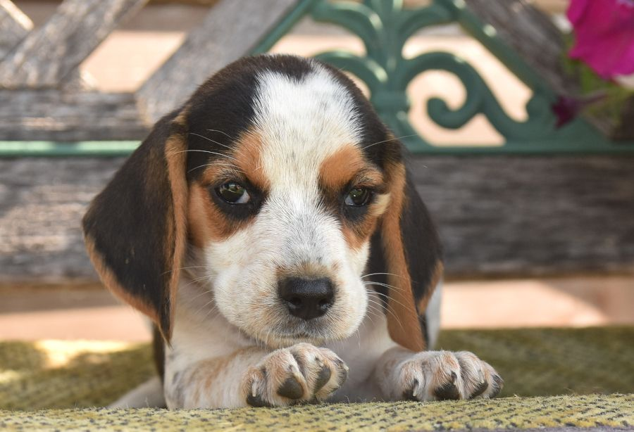 Puppies For Sale Beagle Puppy Puppies Lancaster Puppies