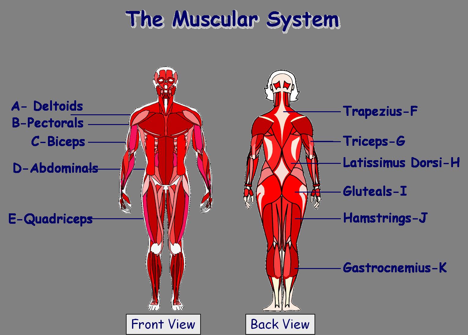 Muscular System  Muscular System    Muscular System