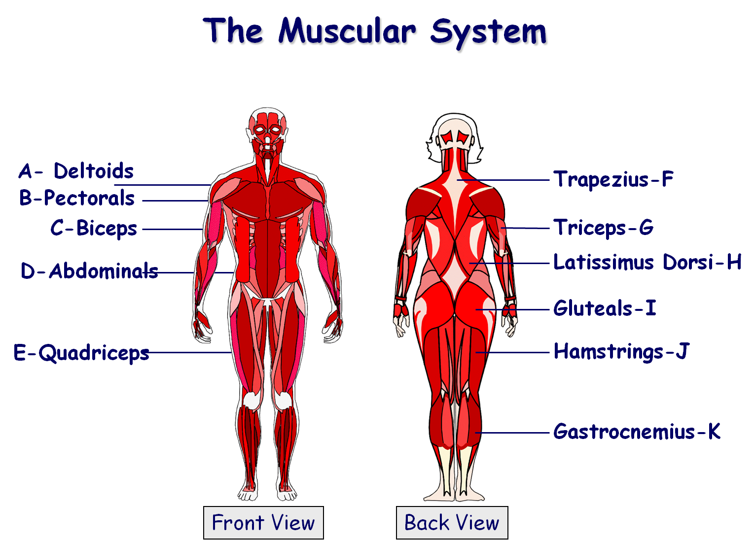 Muscular system | School | Pinterest | Muscular system, Gcse pe and ...