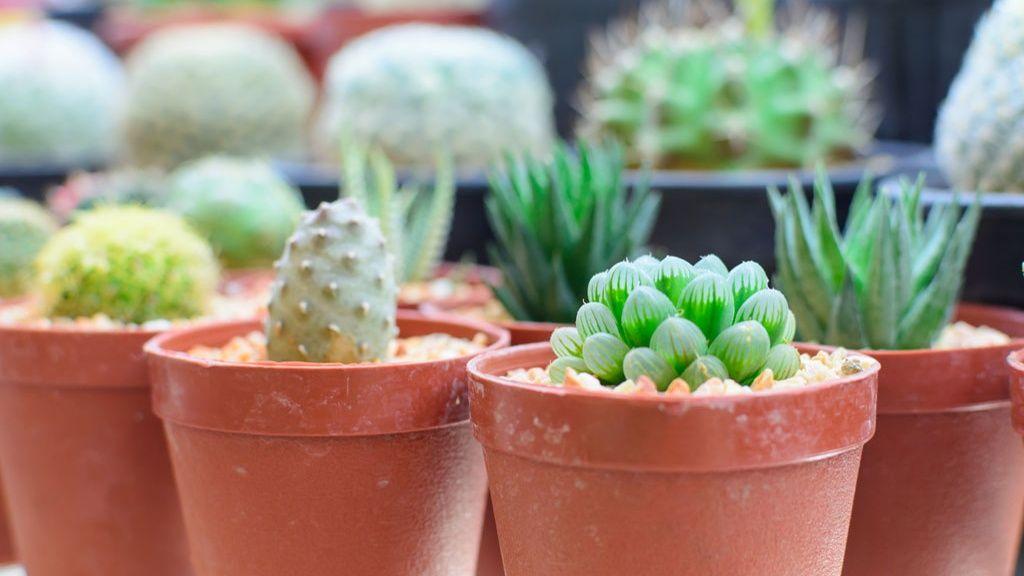 Mehikasvit viihtyvät pienissä ruukuissa. Kuva: Shutterstock.