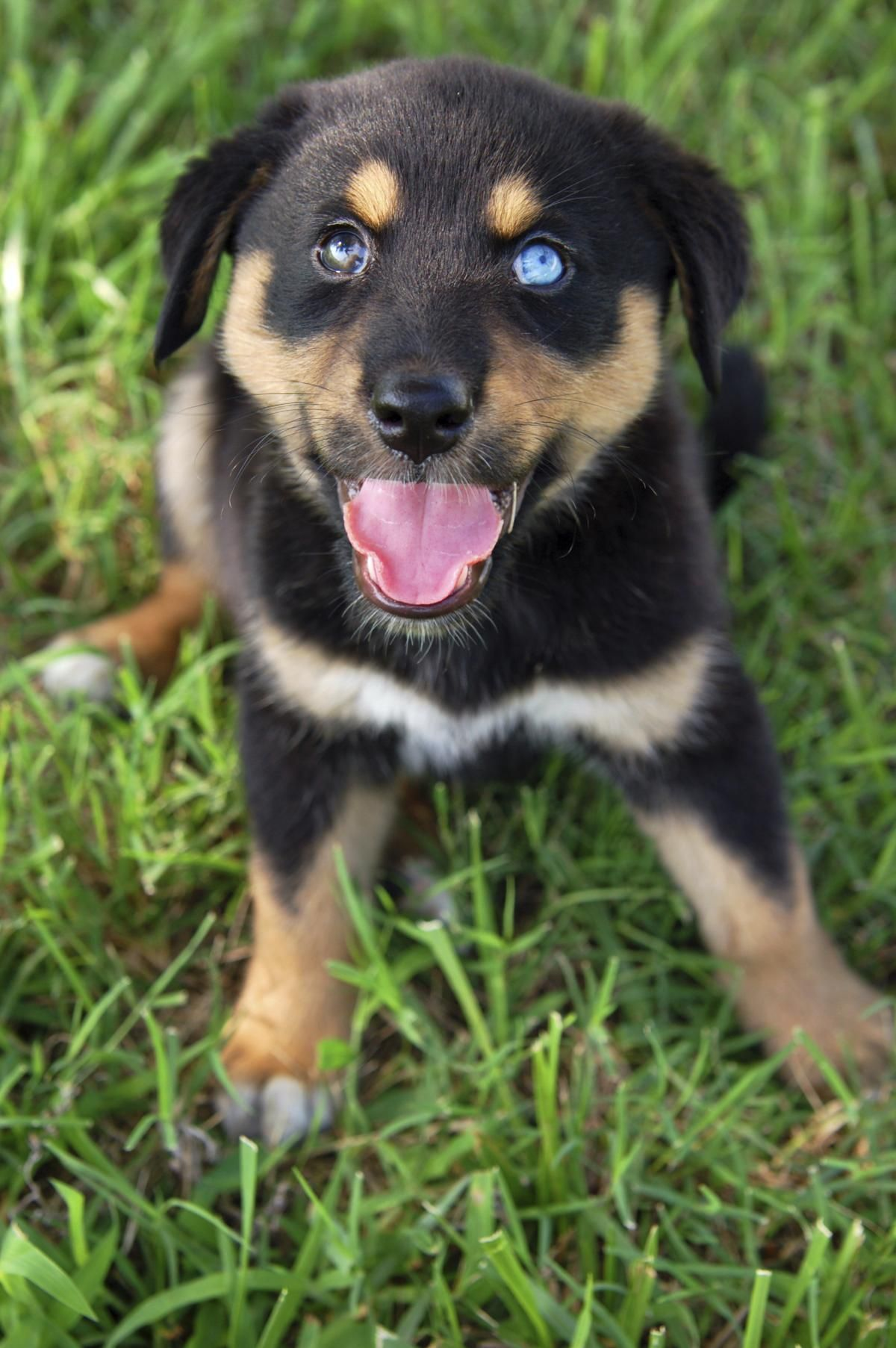 Pick me! Siberian husky, Rottweiler, Happy dogs