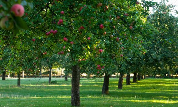 pictures of apple farm | Traditional cider apple orchards