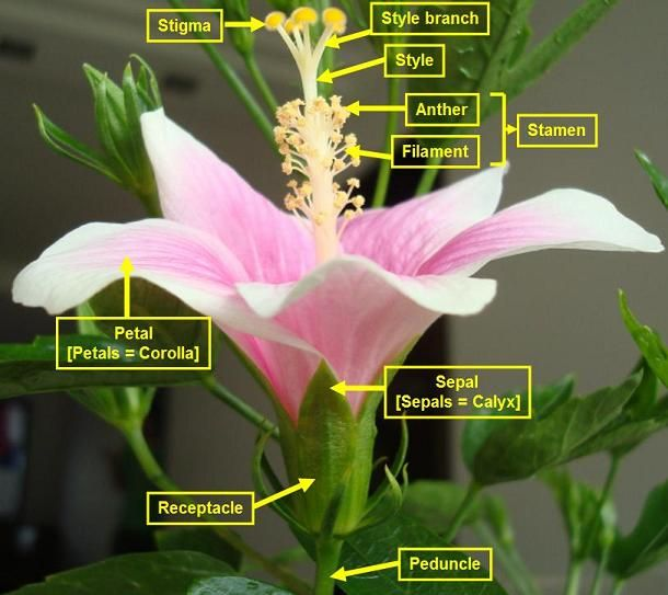 Stamen And Other Parts Of The Hibiscus Flower With Images