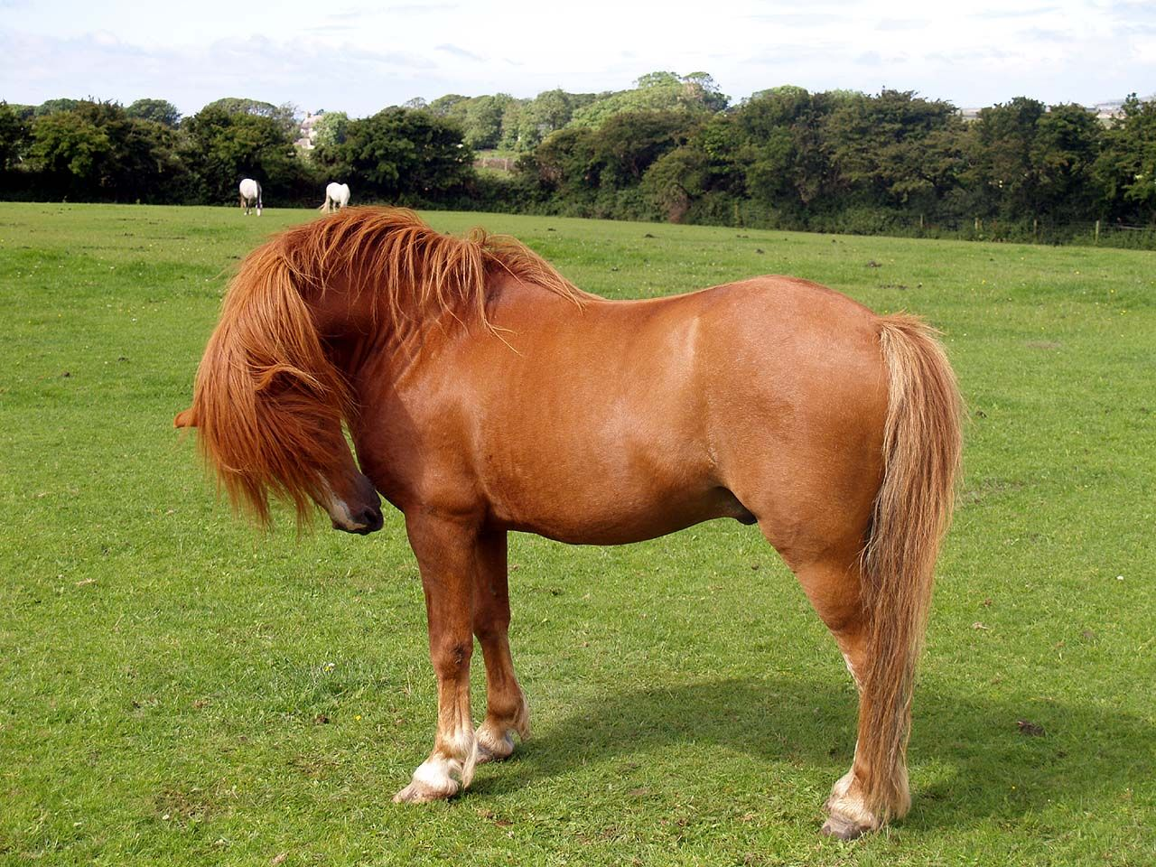 Welsh Pony | Welsh Mountain Ponies - Photographs of ...
