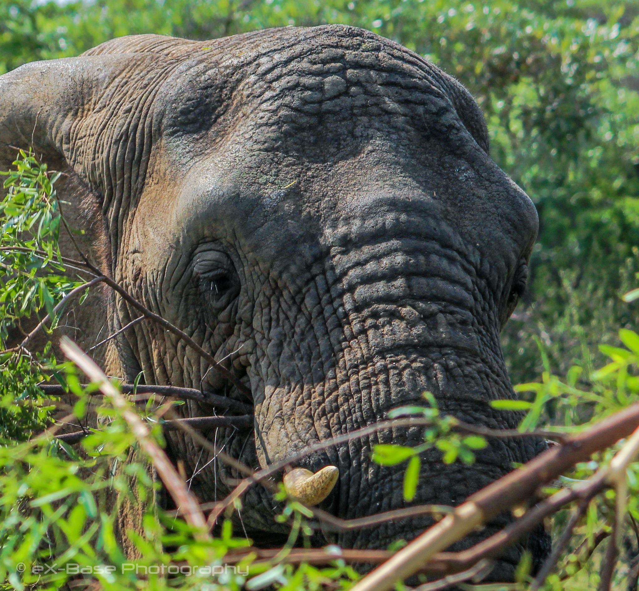 African elephant - Elephants have several distinctive features, the most notable…
