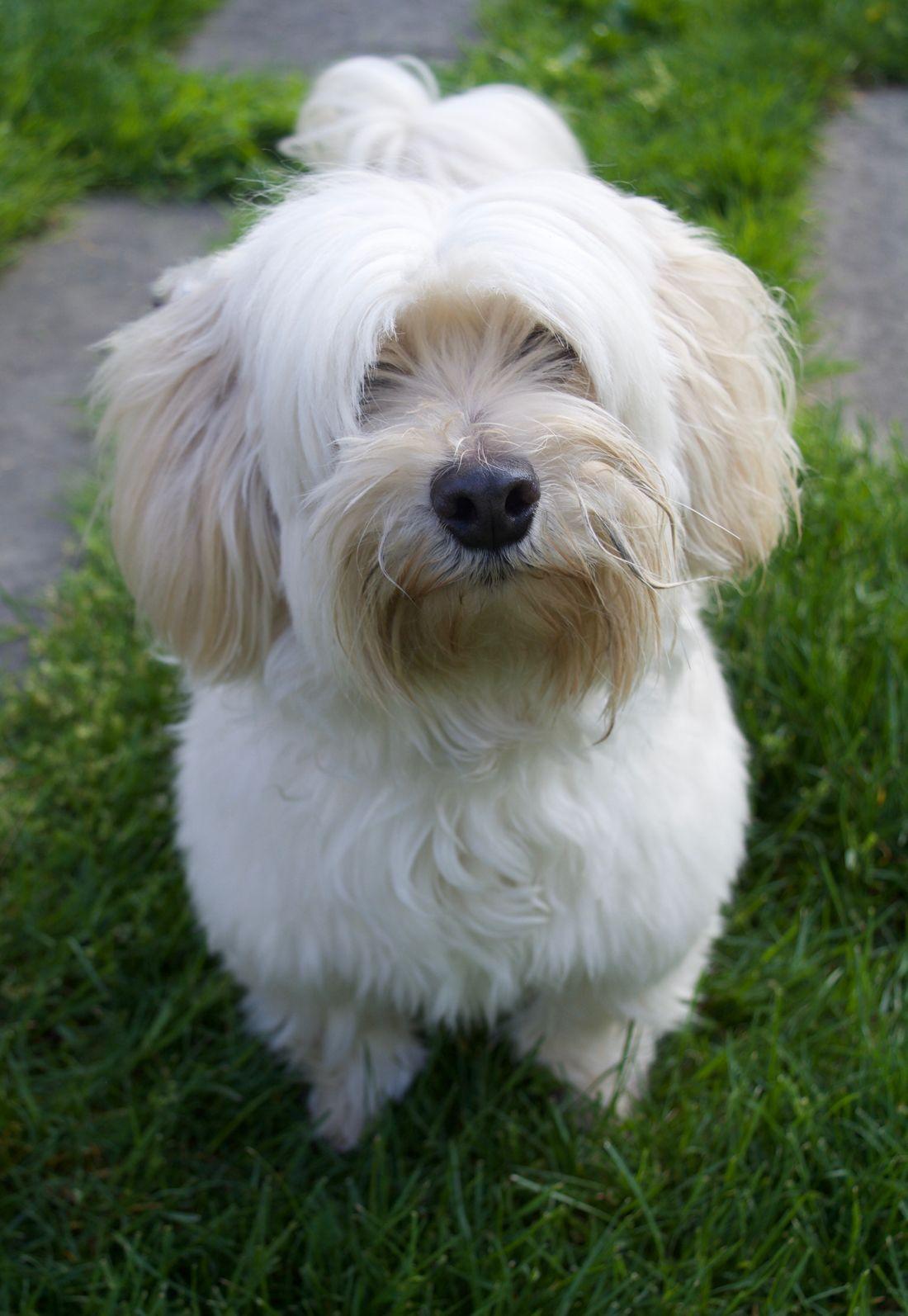 Maltipoo dog for Adoption in Media, PA. ADN534050 on