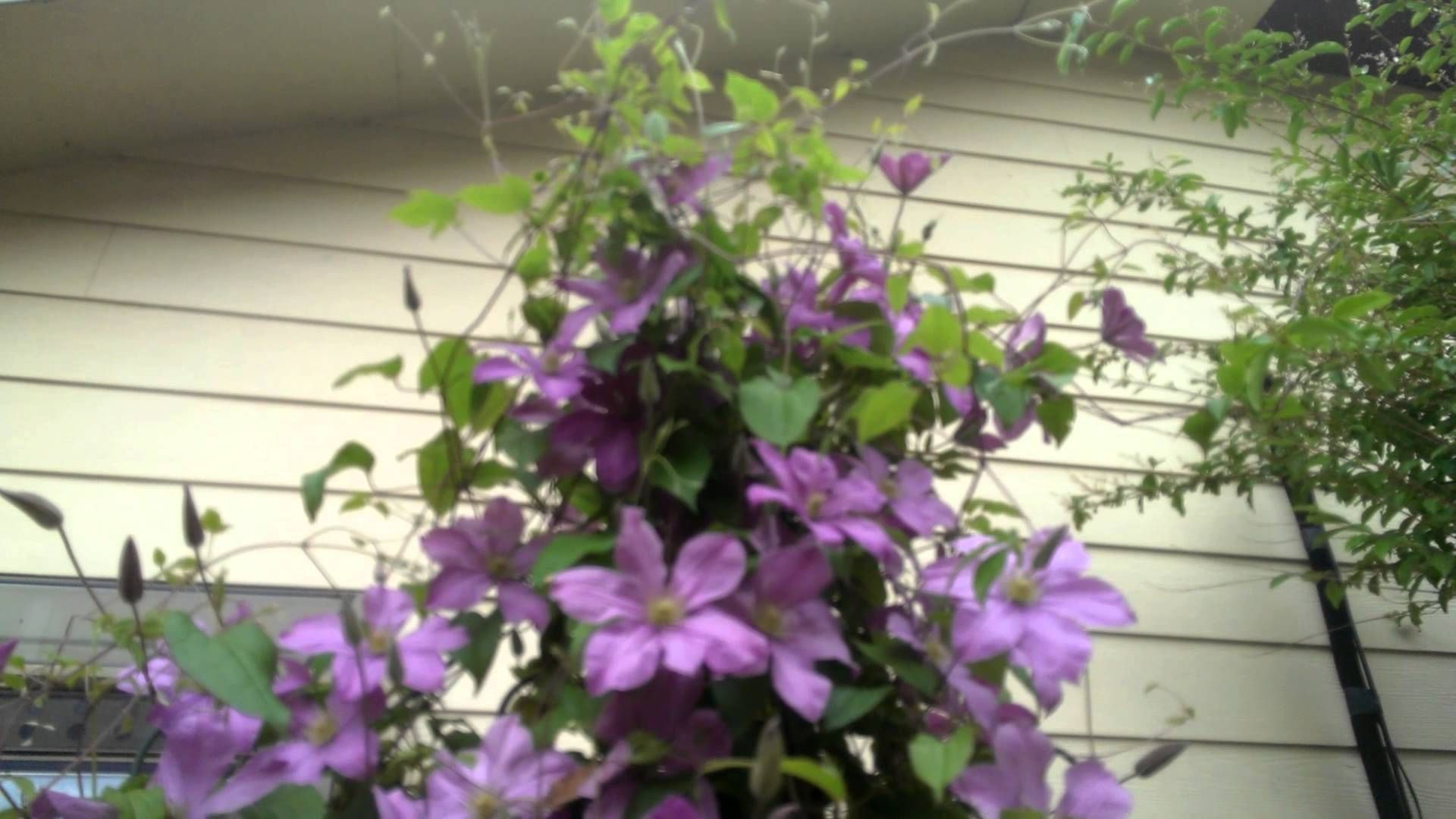 Best Plants for Morning Sun Afternoon Shade Clematis YouTube