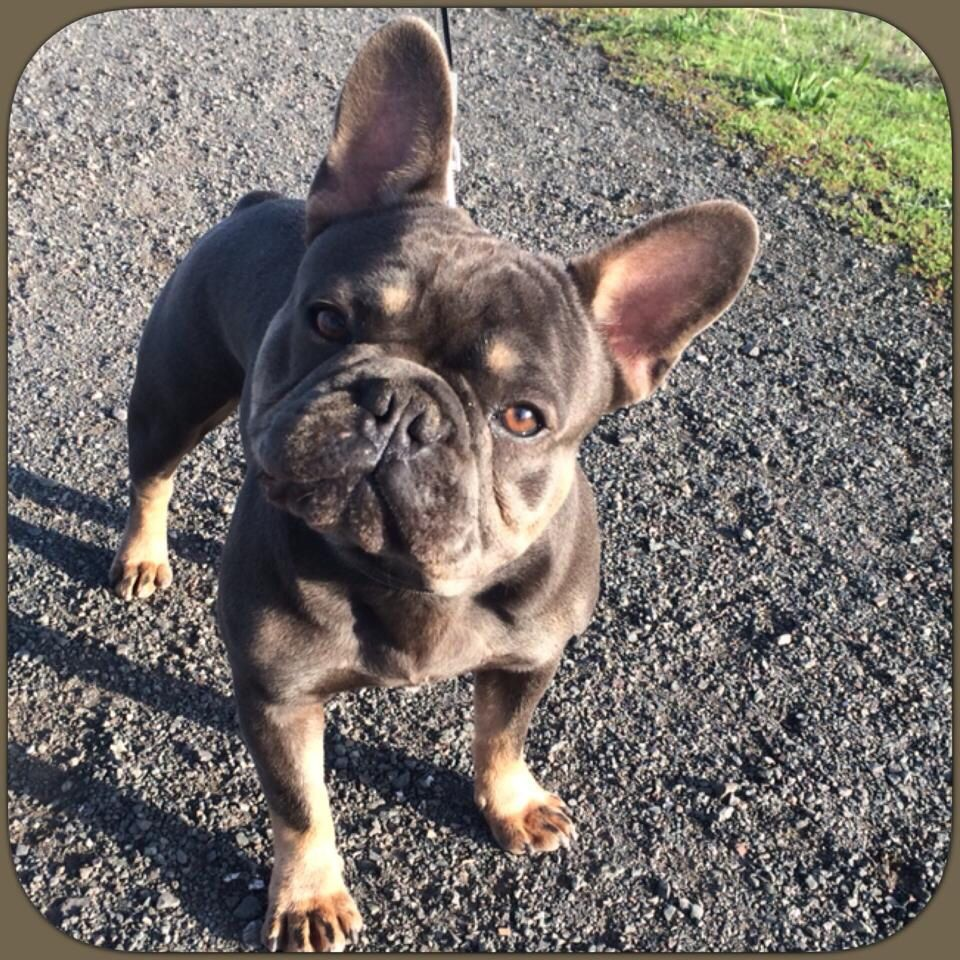 Gatsby French Bulldog Cute Cats And Dogs Bully Breeds Dogs Bulldog