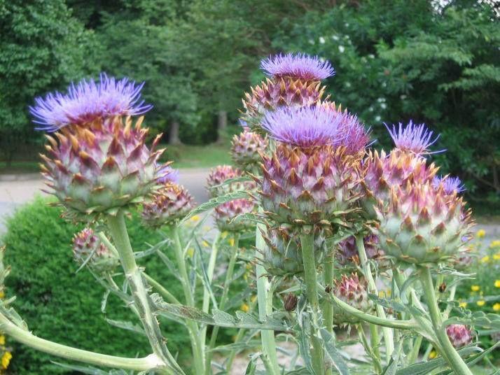 عشبة الحسك الشوكي تشفي الكبد Plants Natural Health Remedies Natural Health