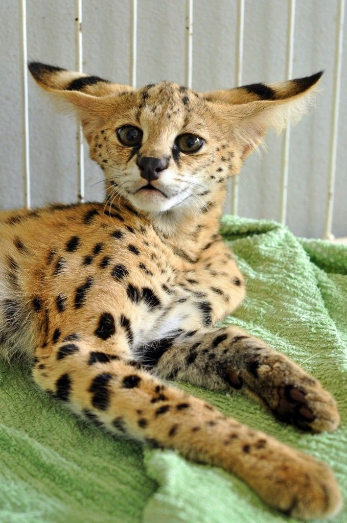 CUTE FUNNY FACE BABY SERVAL CAT WILD CATS (Big and Small