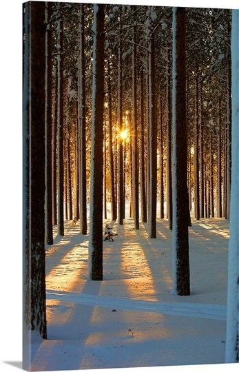Pine trees with snowy landscape at sunset in winter. Solid-Faced Canvas Print
