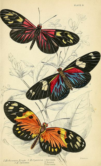 Red postman and numata longwing, brush-footed butterflies (1858) | by Swallowtail Garden Seeds