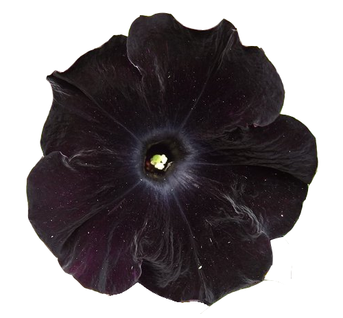Black Velvet Petunia Perfect For The Black And White Garden I Would Love To Have Transparent Flowers Dark Flowers Black And White Flowers